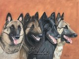 Four varieties of the Belgian shepherd