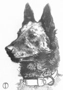 Vintage prints - Belgian Shepherds