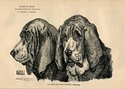 Vintage prints - Other Belgian dog breeds